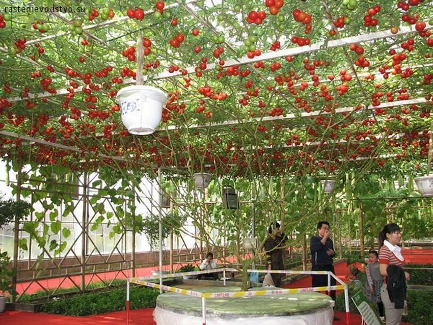 The Octopus Tomato Tree Wow The Gaia Health Blog